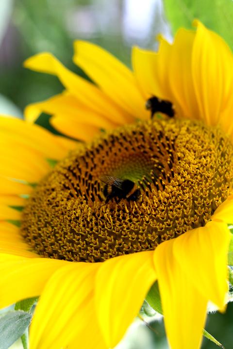 Sunflower 72dpi