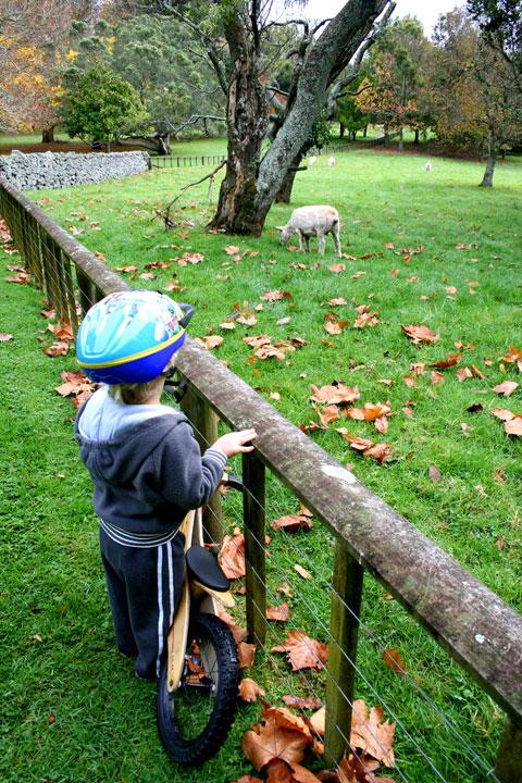 Dan-cornwall-park-sheep-2