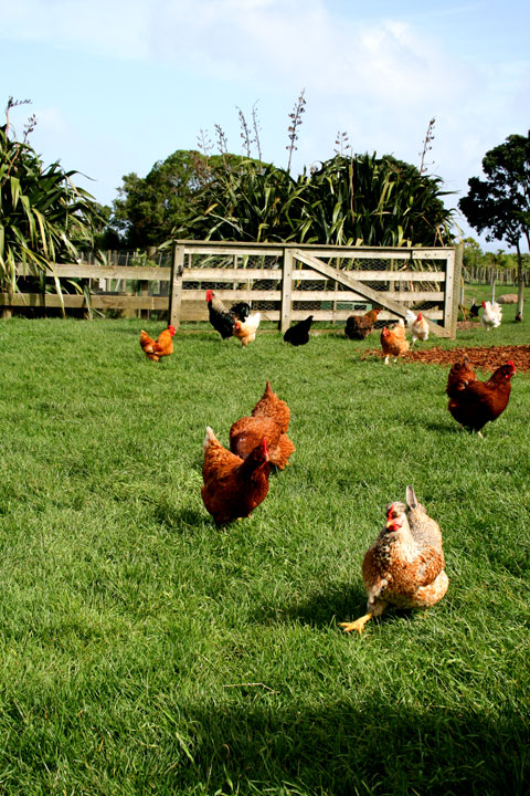 Ambury-farm-chooks