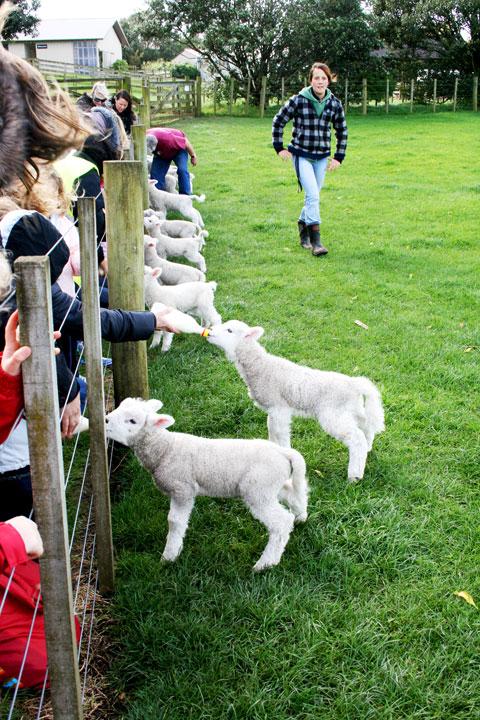 Ambury-farm-feeding-lambs
