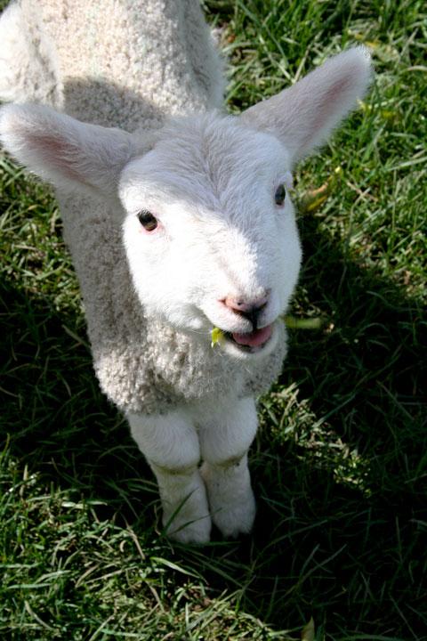 Ambury-farm-lamb