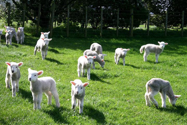 Ambury-farm-lambs