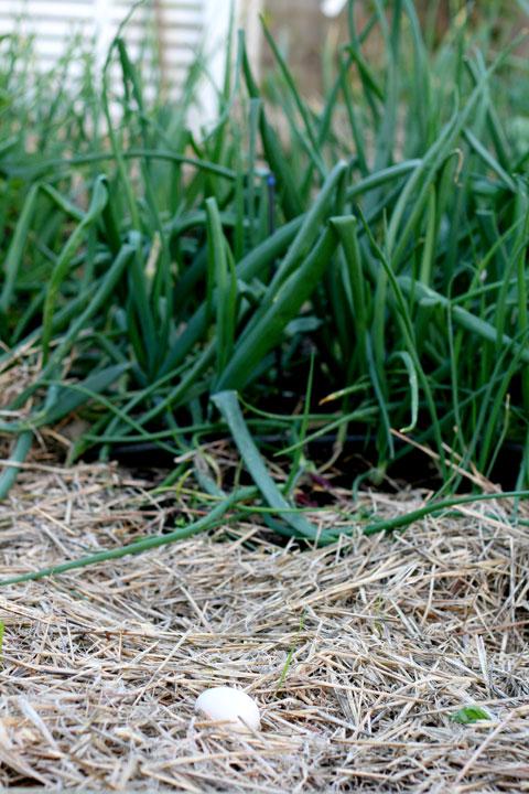 Duck-egg-in-Andy's-garden