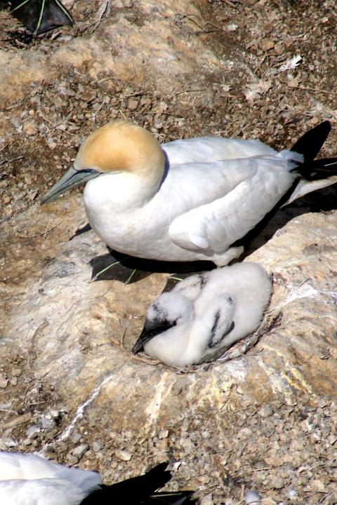 Baby-gannet