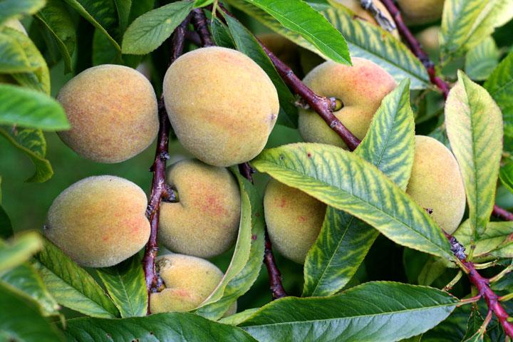 Peaches-