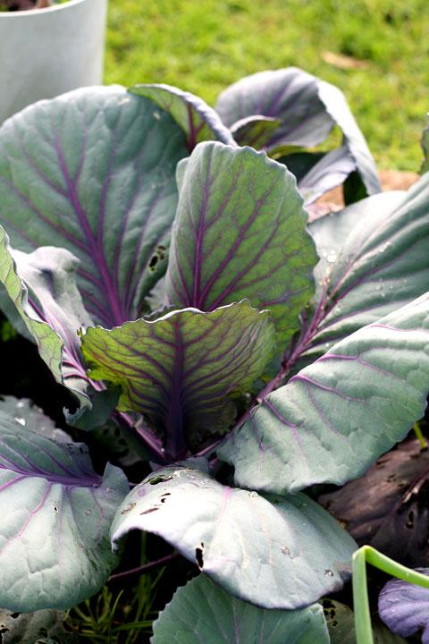 Veges-cabbage
