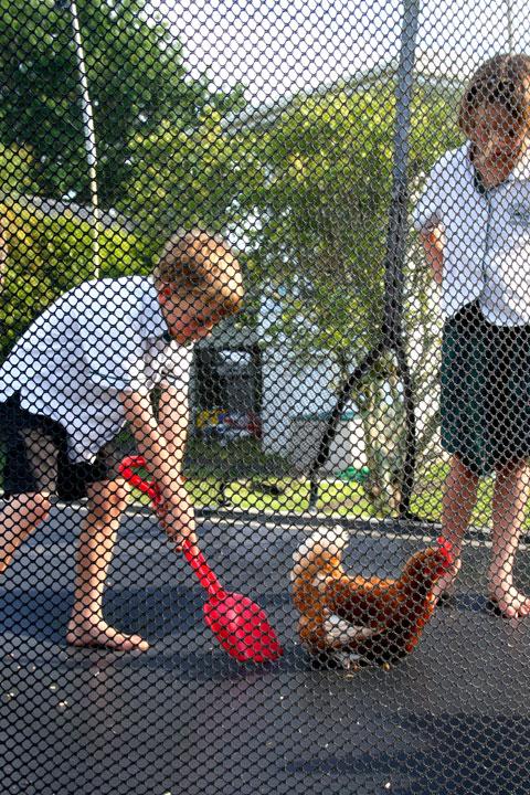 Chickens-on-tramp-picking-u
