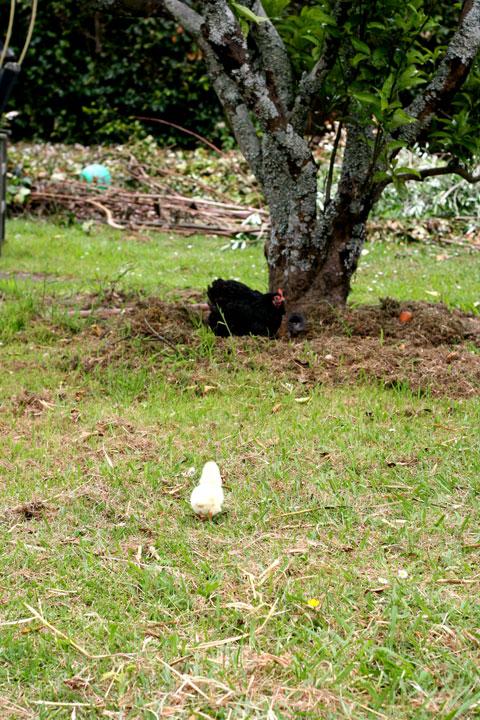 Chick-finding-dirt-bath