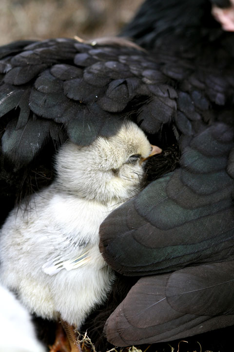 Chick-sleeping-1