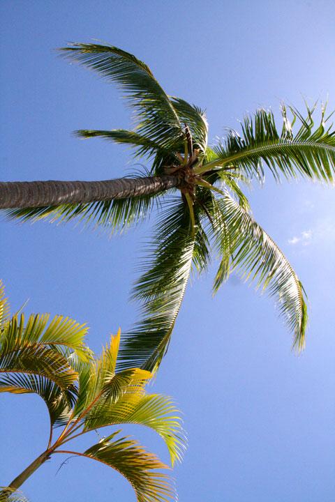Fiji-palm-tree
