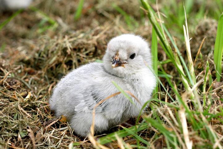 Chick-dirt-bath-1
