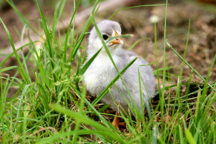 Chick-exploring