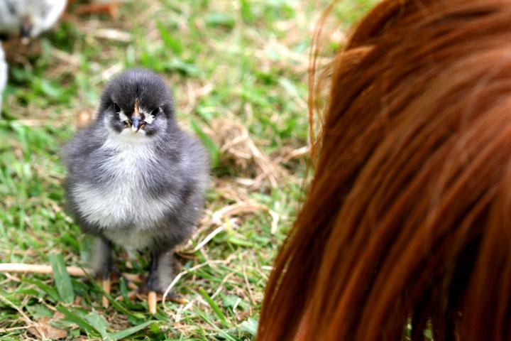 Chick-lange