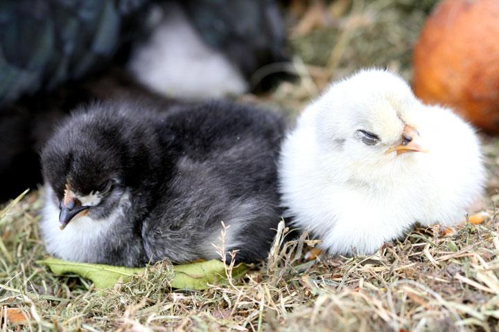 Chick-sleeping-2