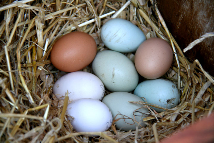 Setting-eggs