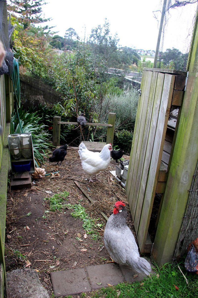 Sun-chickens