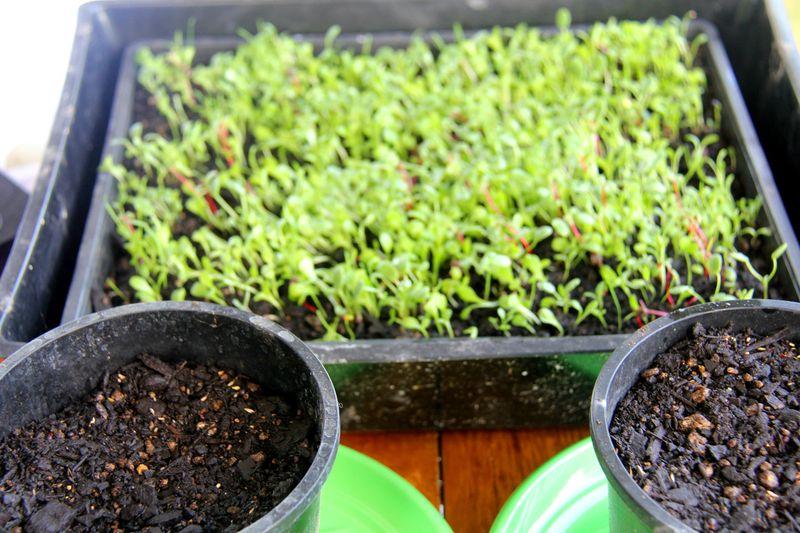 Growing-chicken-herbs