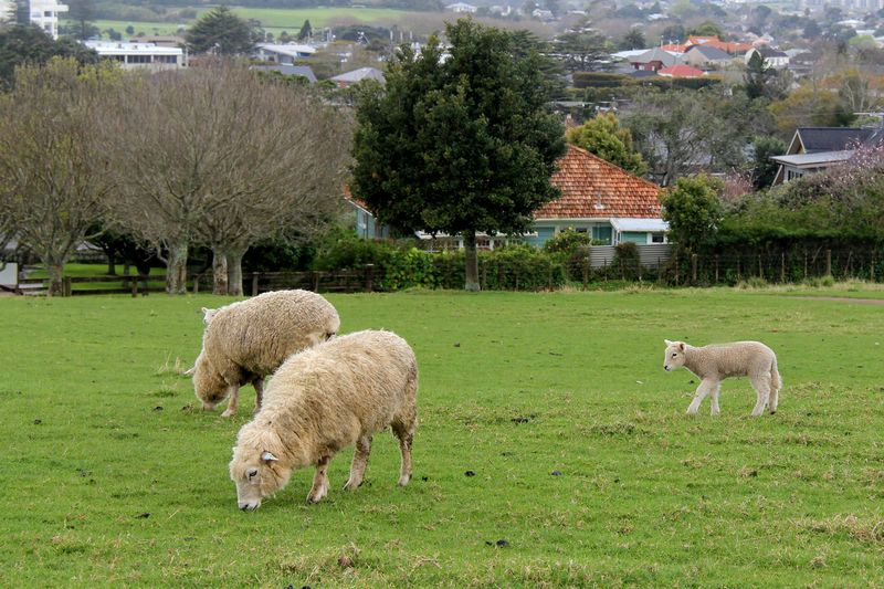 Lambs-in-spring