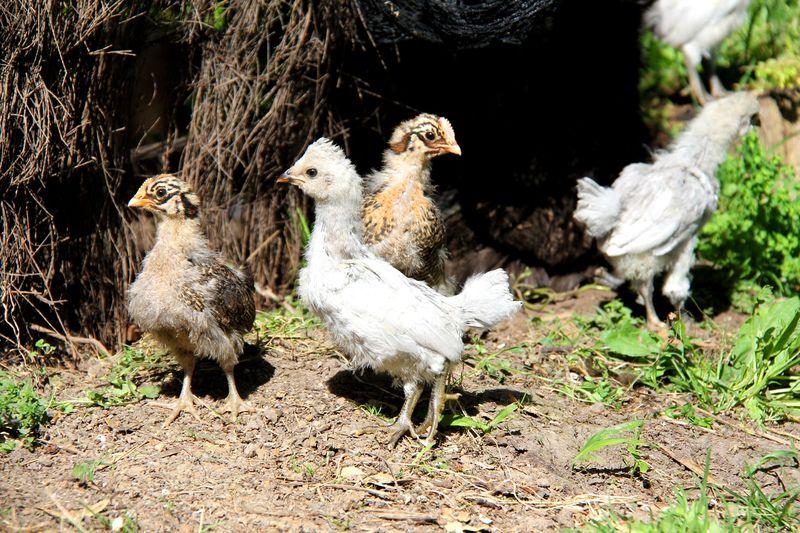 Tinys-chicks