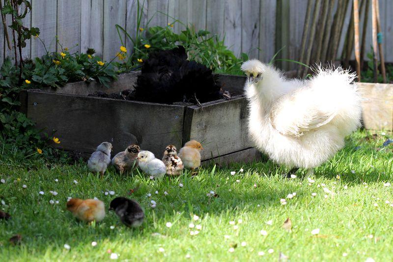 Chicks-5