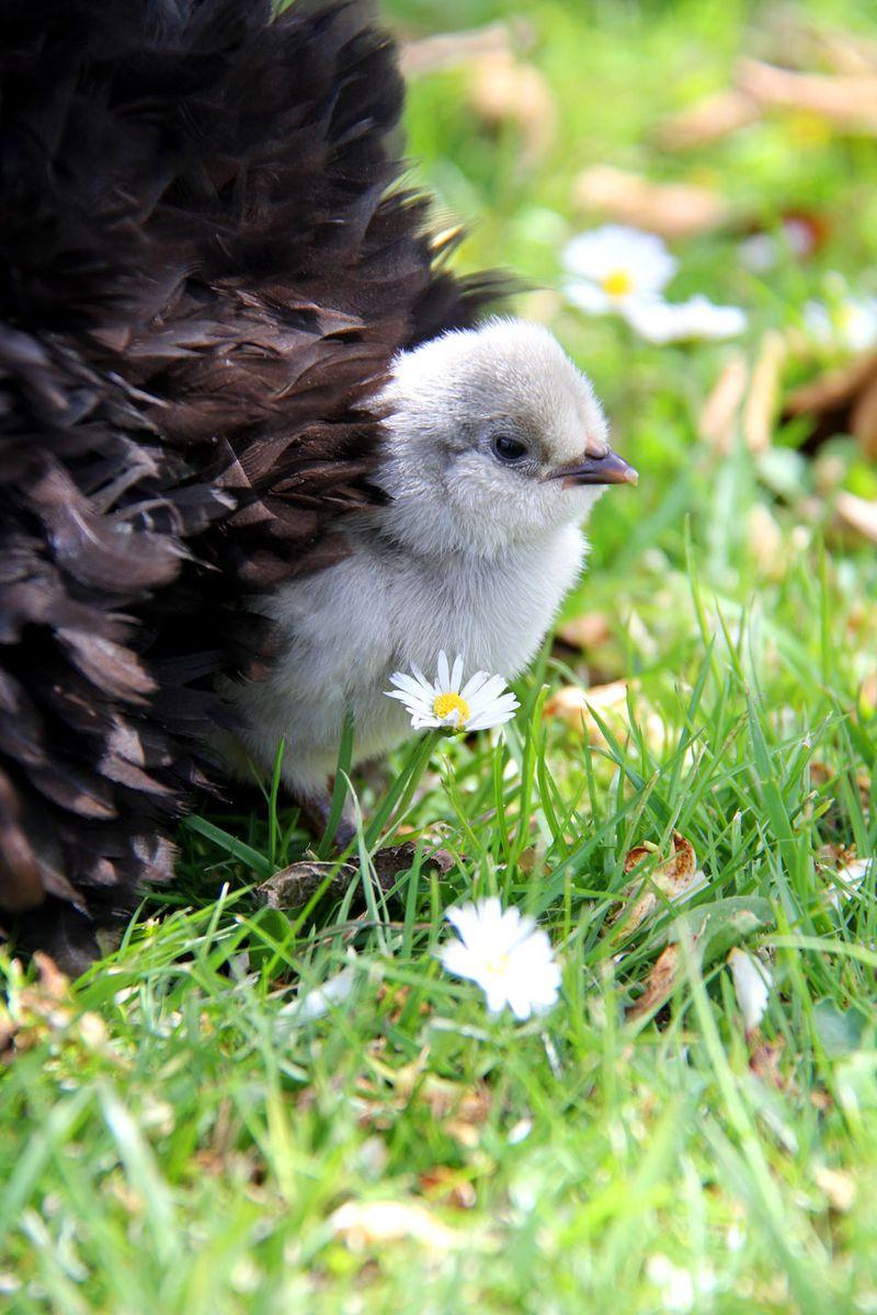 Chicks-1