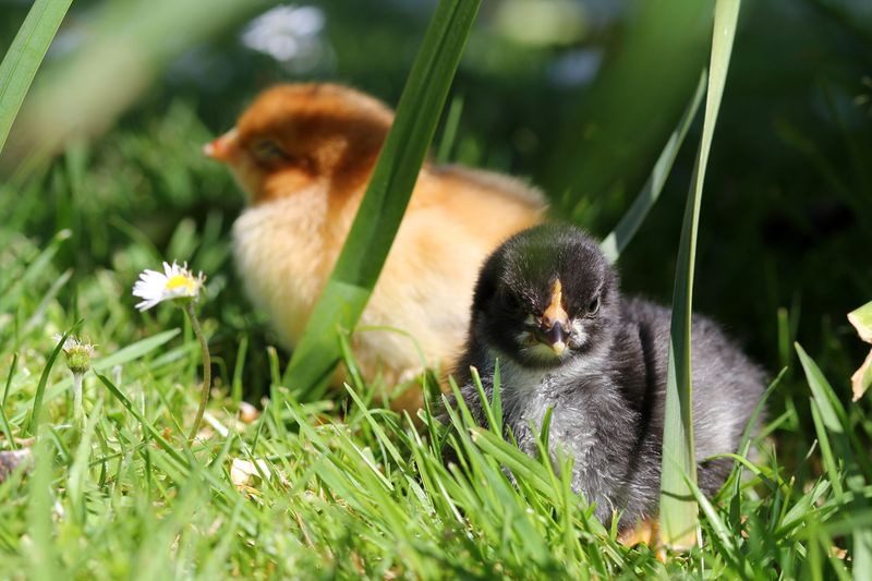 Chicks-3