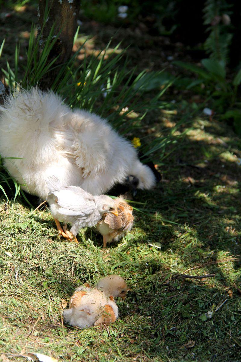 Blondie-and-chicks