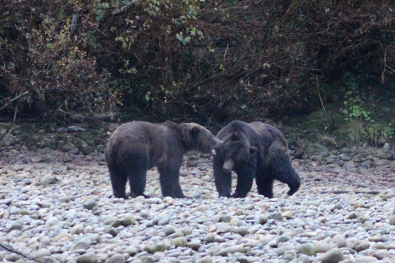 Bears 35