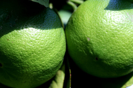 Green_oranges_72dpi
