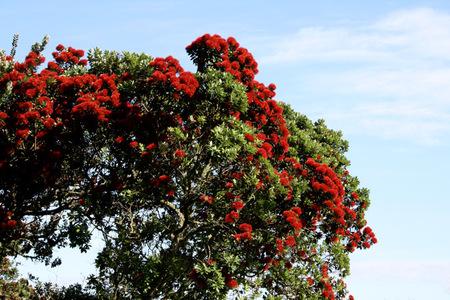 Pohutakawa_tree_72dpi