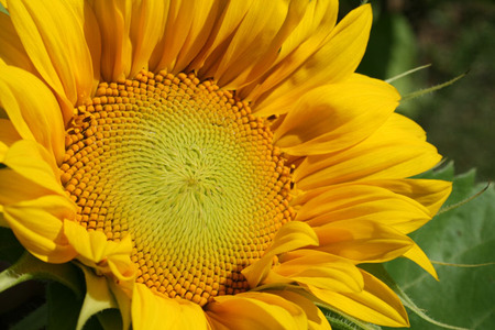 Sunflower_2_72dpi