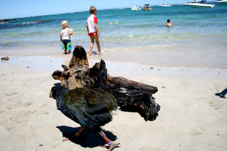 Takahe_on_beach_72dpi
