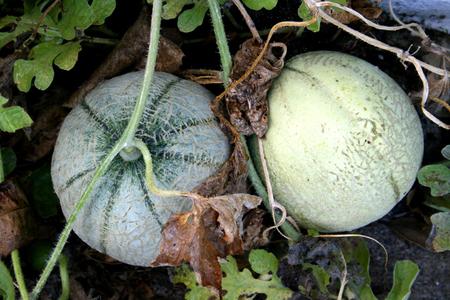 Rockmelons_72dpi