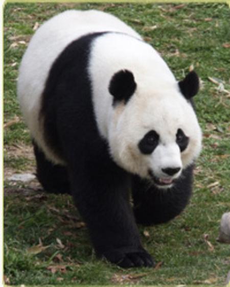 Giant_panda_mei
