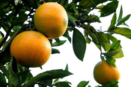 Oranges_72dpi