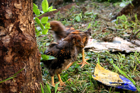 Chickens_outside_1_72dpi