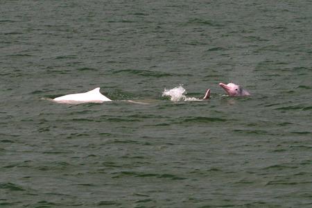Hong_kong_pink_dolphin_3_72dpi