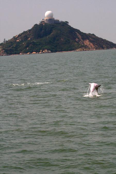 Hong_kong_pink_dolphin_4_72dpi