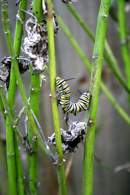 Swan_plant_with_caterpillar_72dpi